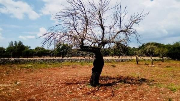 """Cebrián diu que l'única manera d'atallar la xylella és arrancar els arbres davant la seua """"enorme capacitat contagiosa"""""""