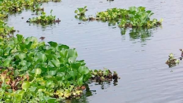 Camalote en el río Guadiana
