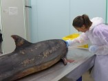 Consuelo Rubio, antes de comenzar la necropsia de un delfín mular