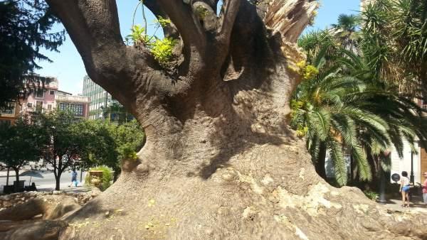 Árbol en la Plazaq