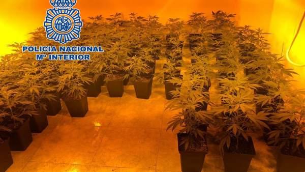 Plantación de marihuana descubierta en un domicilio de la zona norte