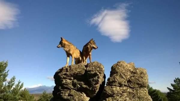Pareja de lobos ibéricos sobre una roca