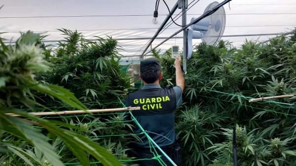 Plantación de marihuana intervenida por la Guardia Civil en Gondomar