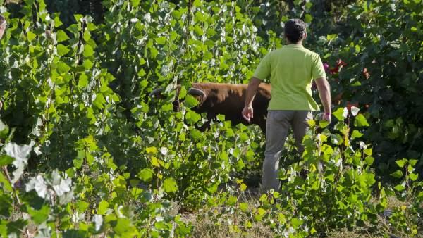 Imagen del toro escapado en un encierro en Arcas
