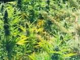 Plantas de marihuana en una imagen de archivo