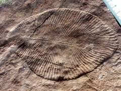 Grasa fosilizada revela que Dickinsonia es el animal más antiguo conocido