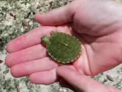 Investigan si hubo agresión a la británica con una tortuga en su vagina