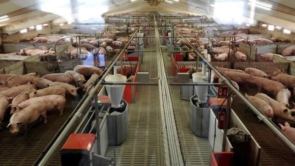 Granja de porcino de Icpor.