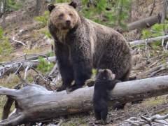 Trump pierde: el oso grizzly de Yellowstone no podrá ser cazado