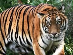 Nepal está a punto de duplicar su población de tigres