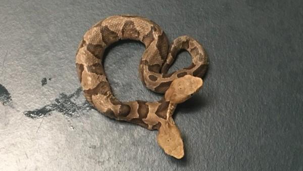 Serpiente cabeza de cobre de dos cabezas