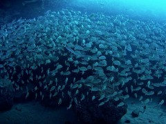 Reducir la pesca no será suficiente para salvar a las especies marinas si sigue aumentando la temperatura del mar