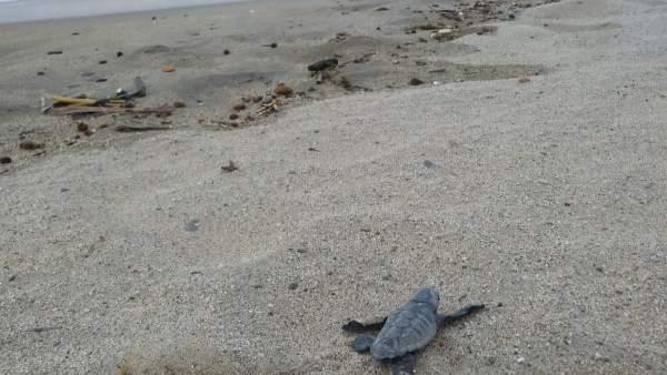 Una tortuga del nuevo nido de tortuga boba detectado en Cambrils