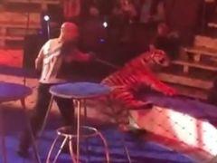 Piden el boicot contra un circo por el maltrato de un domador a una tigresa que sufría convulsiones
