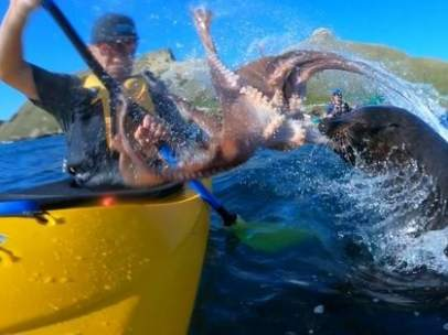 Piragüista golpeado por una foca con un pulpo