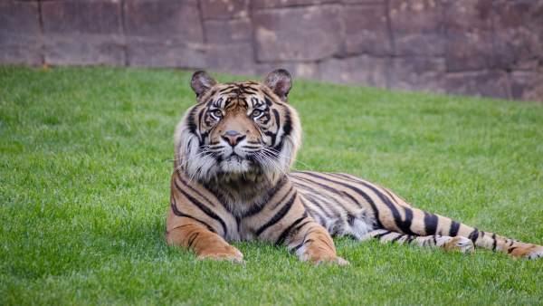 Harau, tigre de Sumatra, en el Bioparc Fuengirola