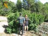Ávila.- Plantación De Marihuana