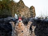 Imagen de un guepardo bebiendo agua