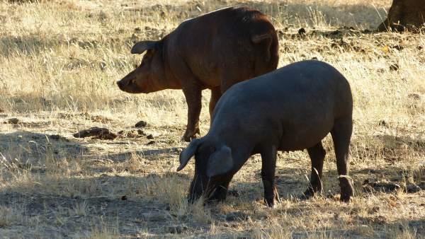 Cerdo ibérico, cerdos ibéricos