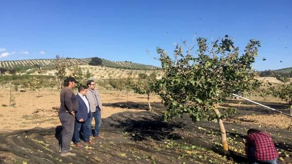La Diputación fomenta la plantación de pistacho en la provincia