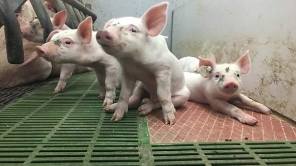 Nacen en la UMU los primeros lechones y terneros