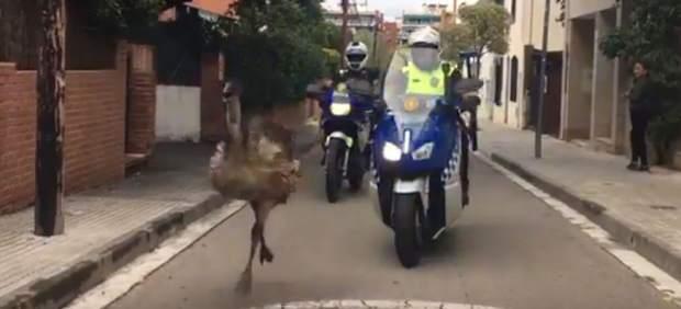 Un emú se pasea por las calles del centro de Sant Cugat (Barcelona).