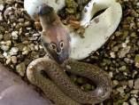 Un ejemplar de las nuevas cobras que se han incorporado a Terra Natura