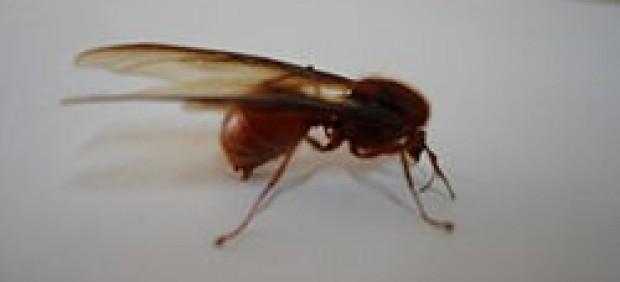 Hormiga voladora.