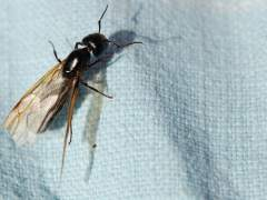 ¿Por qué el aire se está llenando de hormigas voladoras?