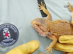 Encuentran un dragón barbudo australiano en un jardín de un chalet de Guadarrama