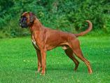 Un perro de raza bóxer
