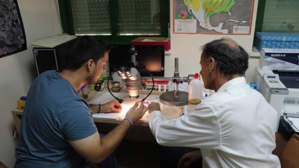 Investigadores analizan una muestra de mosquito tigre
