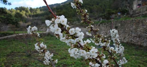 Un cerezo mallorquín