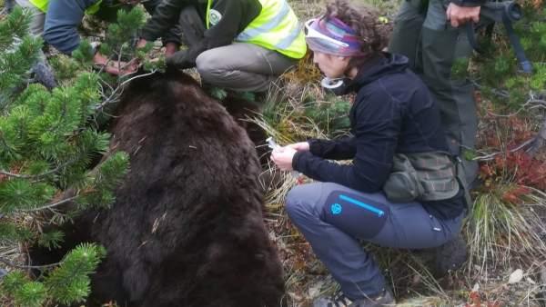 Cambio del collar de seguimiento del oso Goiat