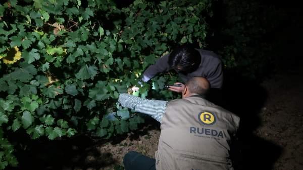 Vendimia nocturna en Rueda. Archivo