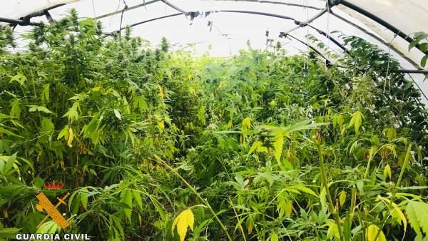 Plantación de marihuana en un invernadero de Burgos