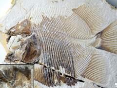 El primer pez carnívoro tiene 150 millones de años