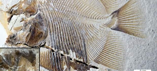 El primer pez carnívoro es un ancestro de la piraña de hace 150 millones de años