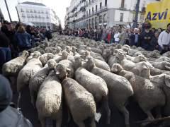 Más de 1.500 ovejas y 100 cabras recorren Madrid en la Fiesta de la Transhumancia