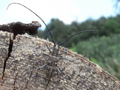 Un gusano de apenas 2 milímetros amenaza los bosques de coníferas