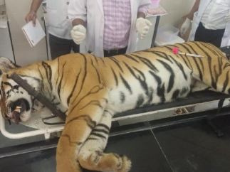 La tigresa Avni