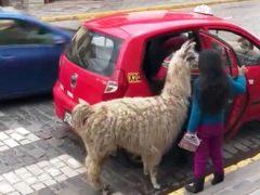 Una llama sube a un taxi