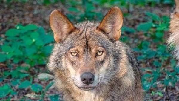 Resultado de imagen de lobo iberico
