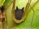 La araña perro.
