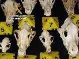 Cráneos incautados por la Guardia Civil.