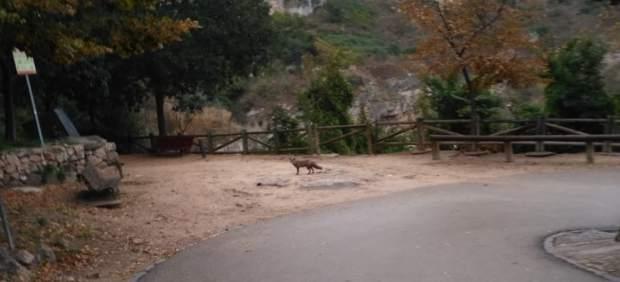 Zorros en Cuenca