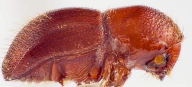Italia, Francia y España unen sus fuerzas contra dos escarabajos invasores