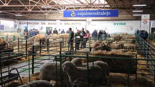 Ganado ovino en la Feria Agroganadera de Trujillo