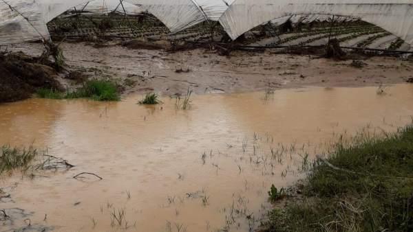 Plantación de fresa dañada por las lluvias registradas en Huelva.