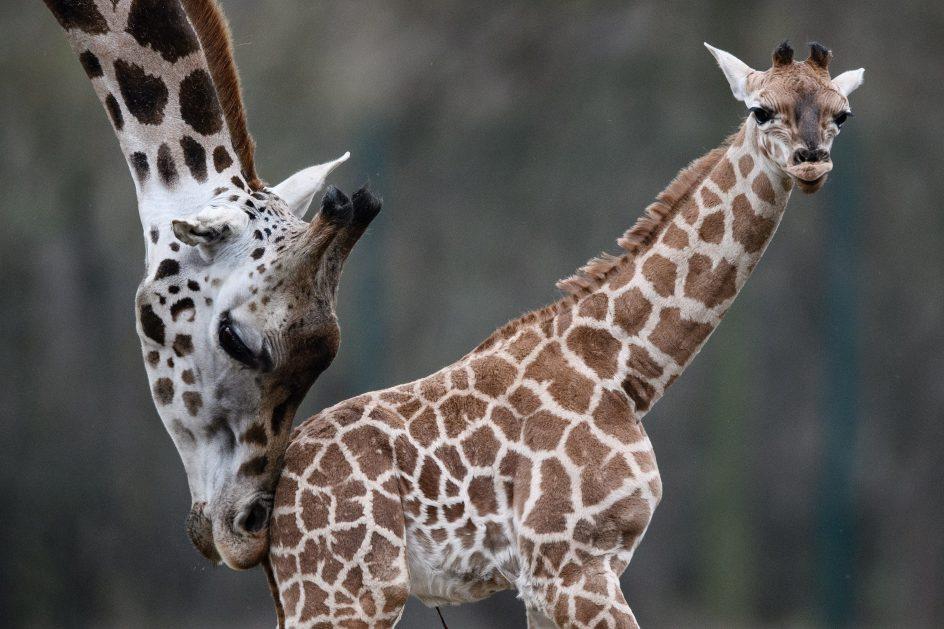 Cuidados de mamá. Una cría de jirafa Rothschild, una de las subespecies más amenazadas del planeta, camina por primera vez junto a su madre en su recinto al aire libre del parque Tiergarten, en Berlín (Alemania).
